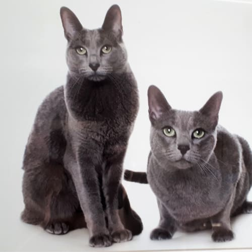 Nadia and Natasha - Russian Blue Cat