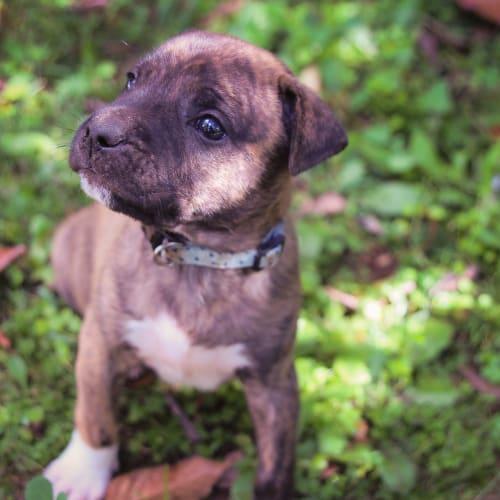 Calvin - American Bulldog x American Staffordshire Terrier Dog