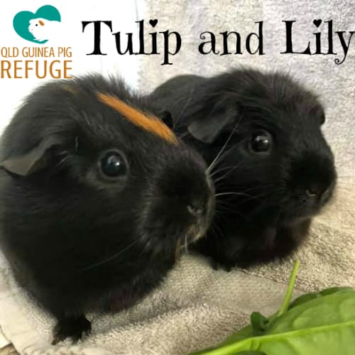 Tulip and Lily - Smooth Hair Guinea Pig