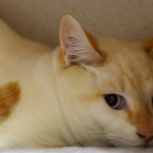 Cynder - Tonkinese Cat