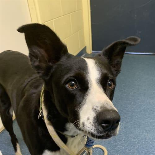 Maggie - Border Collie Dog