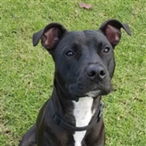 Wiggles - American Staffordshire Terrier Dog