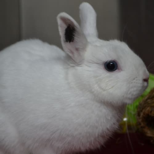 Snowball - Netherland Dwarf Rabbit