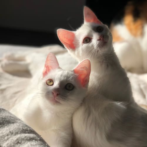 Tayla & Declan (Located in Frankston) - Domestic Medium Hair Cat