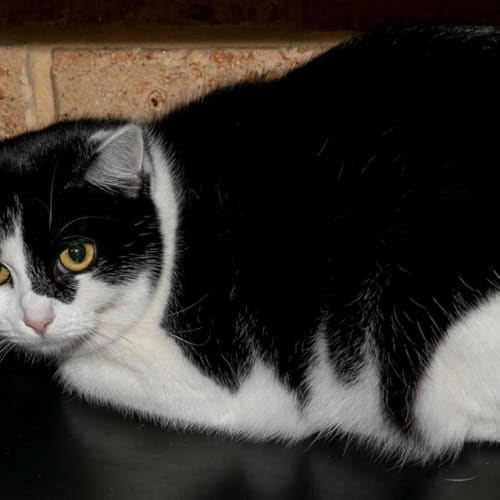 159 - Meme - Domestic Short Hair Cat