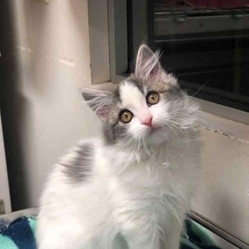 Charlotte - Domestic Medium Hair Cat