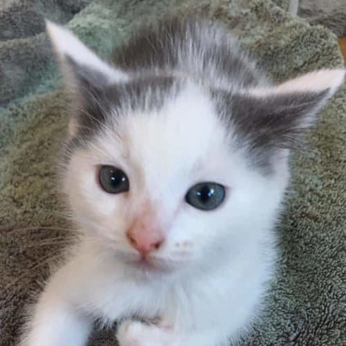 Bounty - Domestic Short Hair Cat