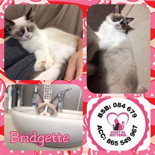 Bridgette - Ragdoll Cat