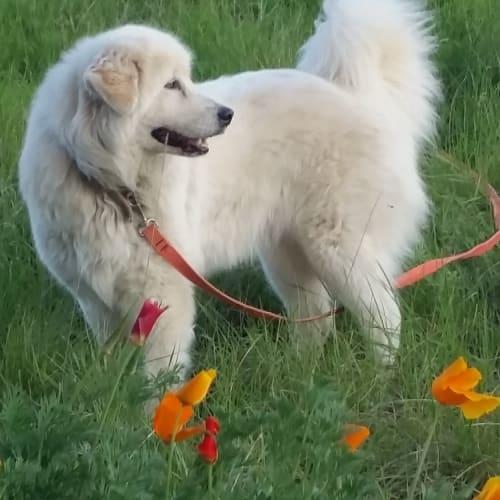 Rosa (working/companion pet for large block) - Maremma Sheepdog