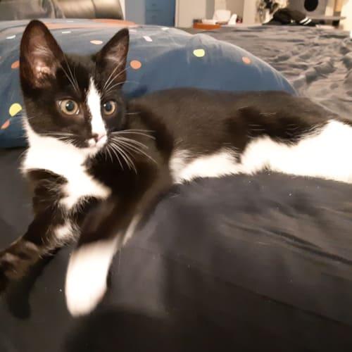 Socksie - Domestic Short Hair Cat