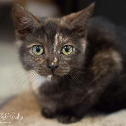 Luna ❣ - Domestic Short Hair Cat