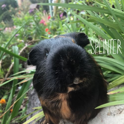 Splinter  - Smooth Hair Guinea Pig