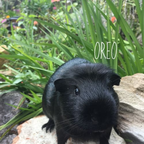 Oreo - Crested Guinea Pig