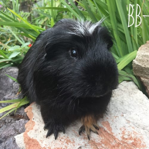 BB-8 - Crested Guinea Pig