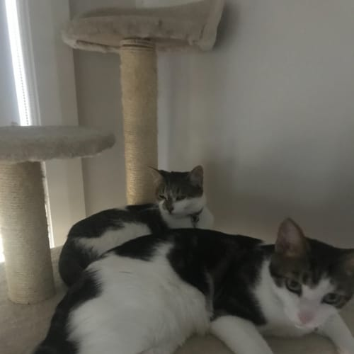Oscar & Khaleesi - Domestic Short Hair Cat