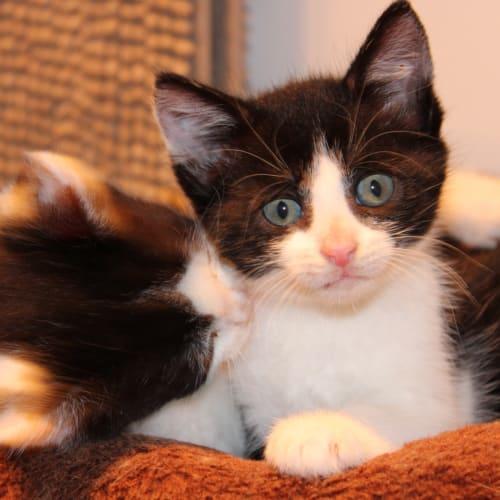 Litten - Domestic Short Hair Cat