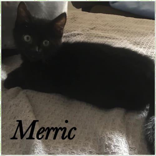 Merric - Domestic Short Hair Cat