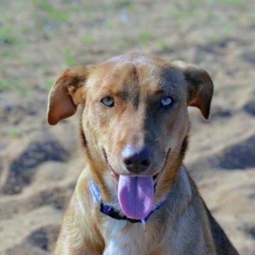 Ginger - Mixed Breed Dog