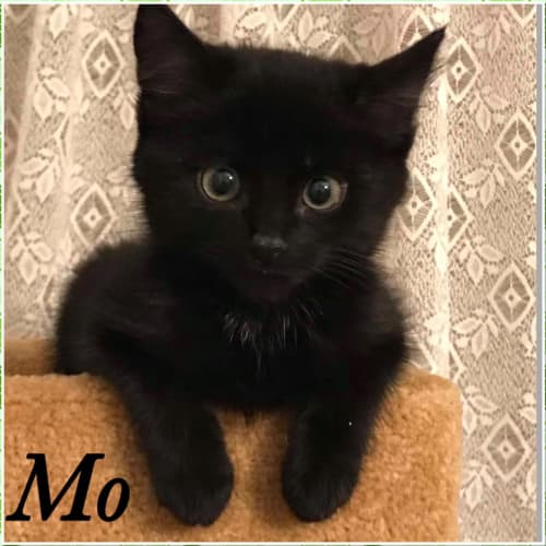 Mo - Domestic Short Hair Cat