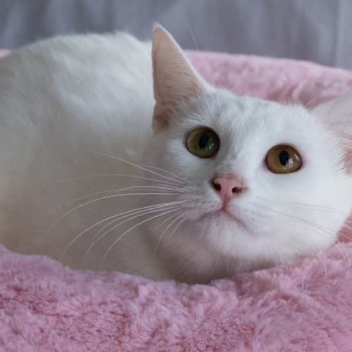 994 - Snowflake - Domestic Short Hair Cat