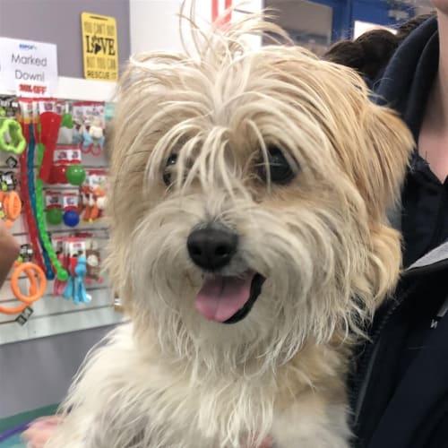 Tilly - Terrier Dog