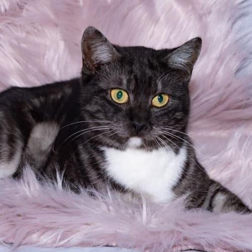 991 - Zelda - Domestic Short Hair Cat