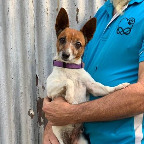 Ida - Jack Russell Terrier Dog