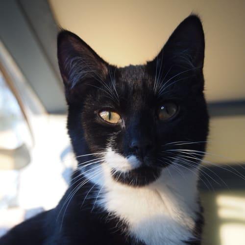 Kit Harrington - Domestic Short Hair Cat