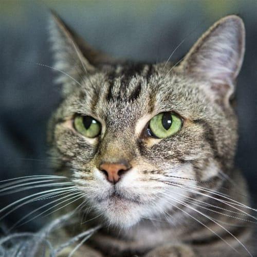 Lucyloo - Domestic Short Hair Cat