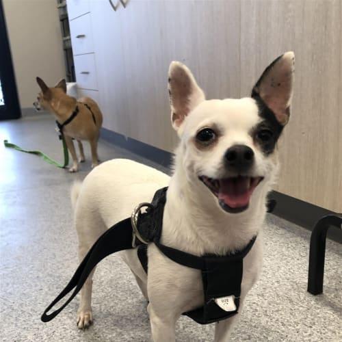 Daisy - Chihuahua Dog