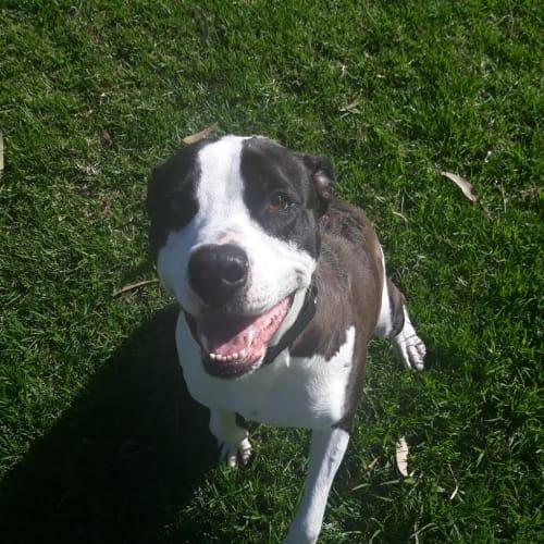 Torez - American Staffordshire Bull Terrier Dog
