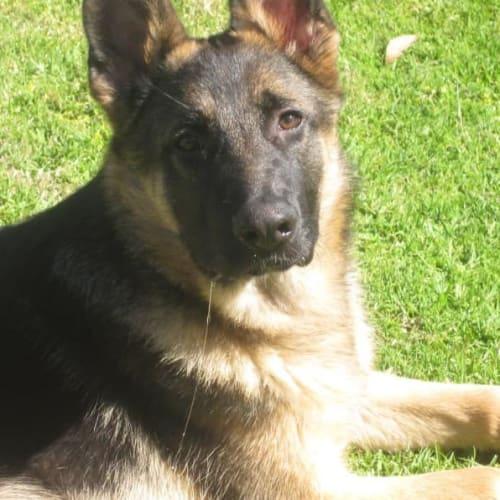 Triton DL2199 - German Shepherd Dog
