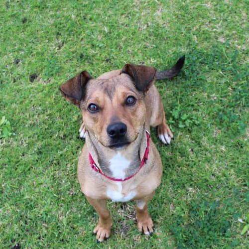 Claire - Rhodesian Ridgeback x Jack Russel Terrier Dog