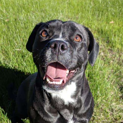 Gidget - French Bulldog x Labrador Dog