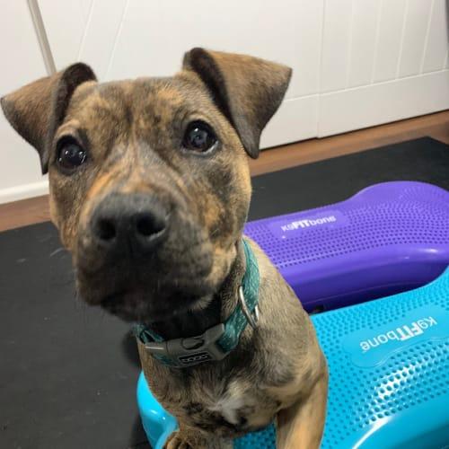 Ginja Ninja - Supermutt Puppy - Sydney based - American Staffordshire Bull Terrier Dog
