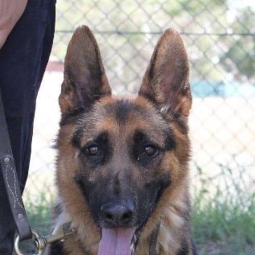 King - German Shepherd Dog
