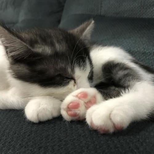 Dash - Domestic Short Hair Cat