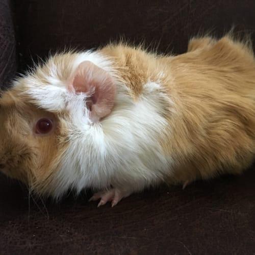Foxy -  Guinea Pig