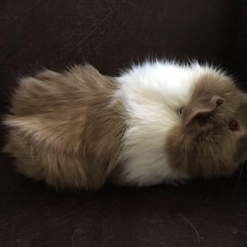 Malu -  Guinea Pig