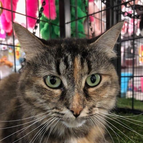 Starlet - Domestic Long Hair Cat