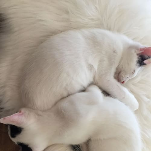 Gucci and Louis - Domestic Short Hair Cat