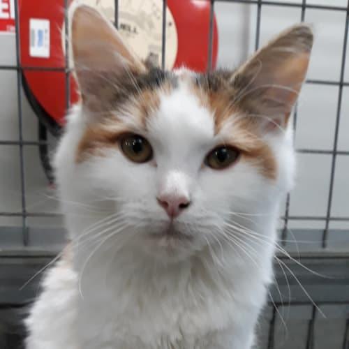 Cleopatra - Domestic Medium Hair Cat