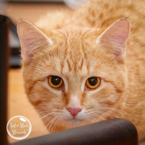 1082 - Buddy - Domestic Short Hair Cat