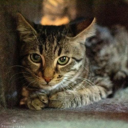 Lockie - Domestic Short Hair Cat