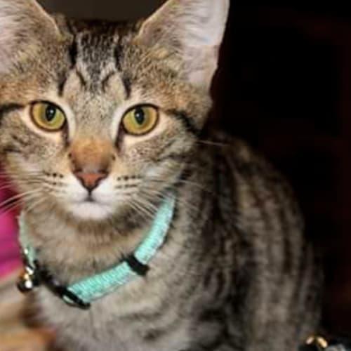 Summer- Visit Me at PetStock Mandurah! - Domestic Short Hair Cat