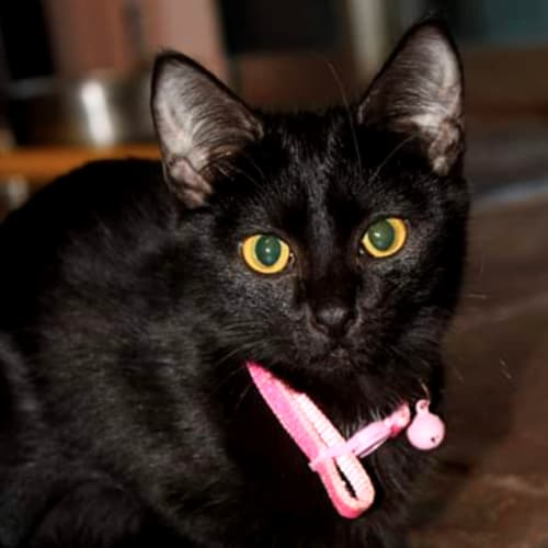 Stephanie - Visit Me at PetStock Cannington! - Domestic Short Hair Cat