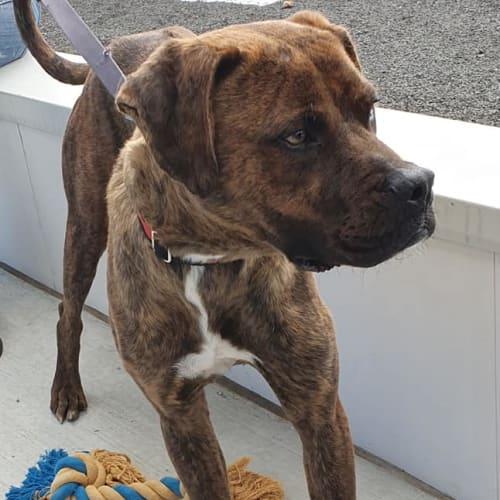 Barney - Boxer x Ridgeback Dog