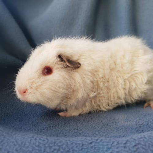 Scarlet - Rex Guinea Pig