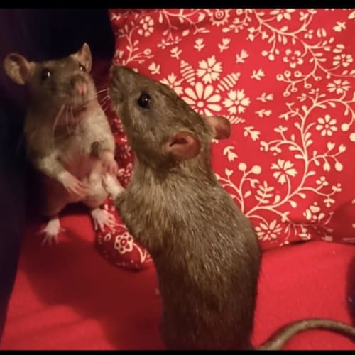 Possum, Roo & Brody -  Rat