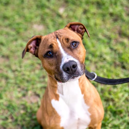 Gina - Staffordshire Terrier Dog